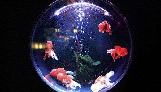 【画像】アートアクアリウム美術館の金魚は虐待?中止の可能性を調査。